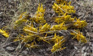 Will the Locust Army Bring another Impending Crisis for India
