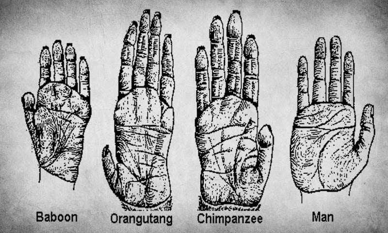 Evolution of Hands