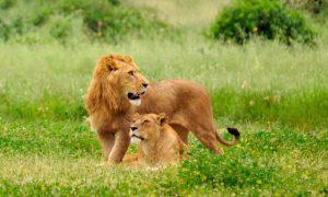 Did Lockdown Help Lion Population Go Up?