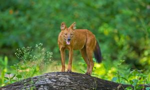 Conserving the Dholes a Priority- Now or Never!