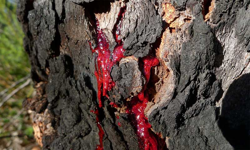 Bloodwood Tree: The Tree that Bleeds Like a Human